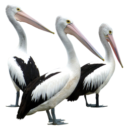 African Bird Pelican Png Image PNG Images