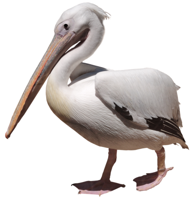 Birds Pelicans Pictures PNG Images
