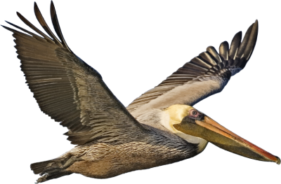 Brown Pelican In Flight Pictures PNG Images