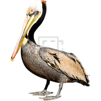 Dramatic Birds Pelicans Photo PNG Images