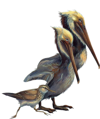Flying Birds Pelicans Pictures PNG Images