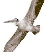 Flying Pelican Png Transparent Images