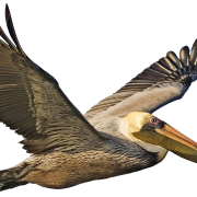 Gold Pelican Png Transparent Images