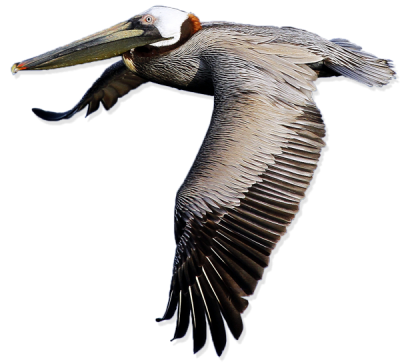 Pelican Png Transparent Images   PNG Images