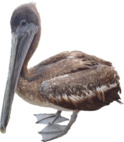 Pelican Png Transparent Png Image PNG Images