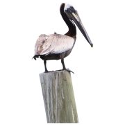 Pelican Transparent Images   PNG Images