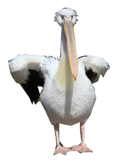 Pelicans Walking Png PNG Images