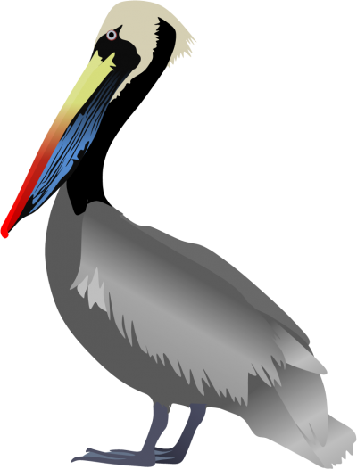 Peruvian Pelican Pictures PNG Images
