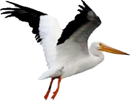 White And Blak Pelican Png Transparent Images