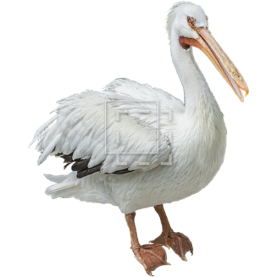 White Birds Pelicans Photo PNG Images