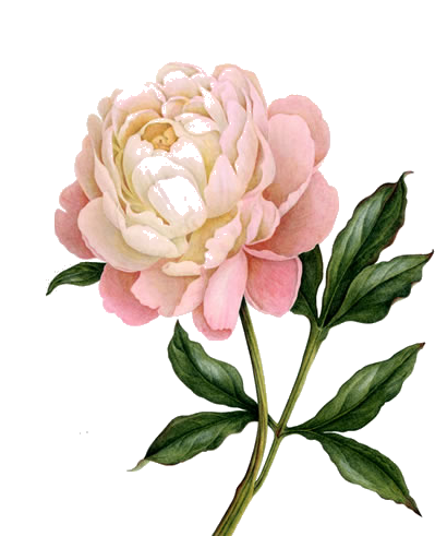 Peony Clipart Photo PNG Images