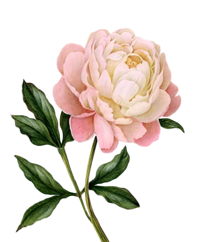 Peony Free Download Transparent PNG Images