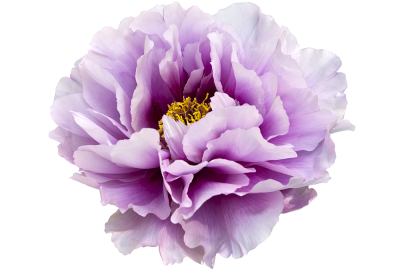 Flower Peony Free Cut Out PNG Images