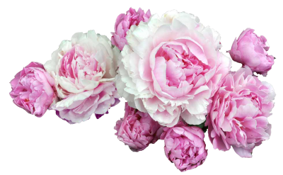 Peonies Clipart PNG File PNG Images