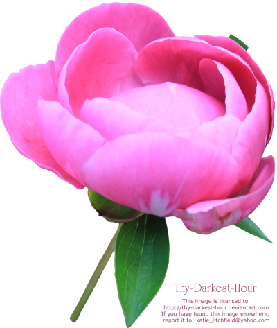 Peony Photos PNG Images