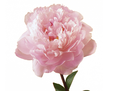 Real Peony Cut Out Png PNG Images