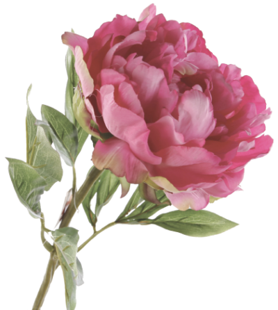 Peony Images PNG PNG Images