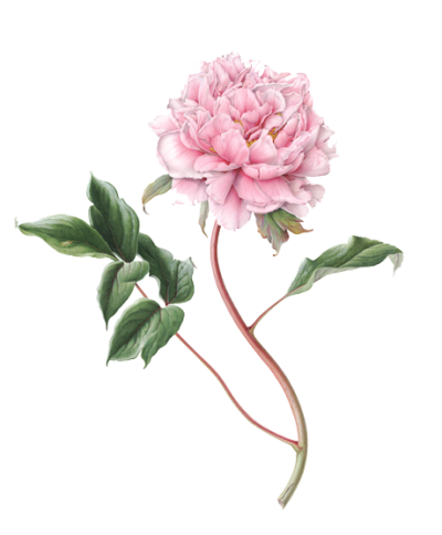 Peony Picture PNG Images