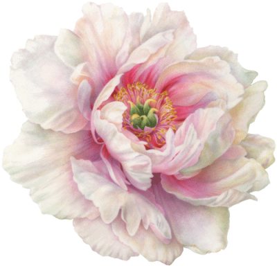 Peony PNG Icon PNG Images