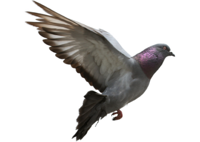Pigeon Hd Image 14 PNG Images