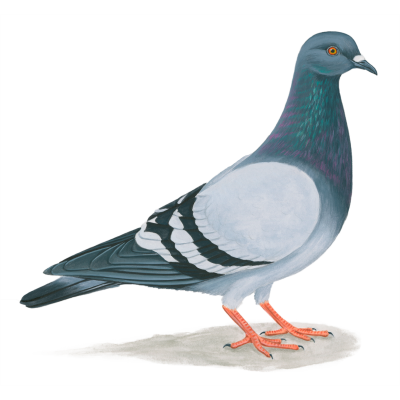 Pigeon Free Transparent PNG Images