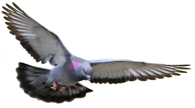 Pigeon Clipart Photo PNG Images