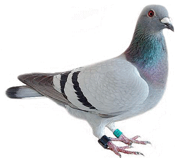Pigeon Icon PNG Images