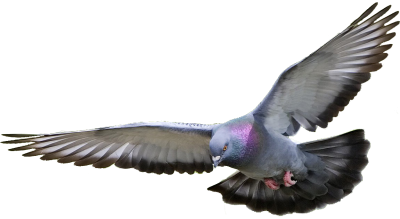 Pigeon Background 6 PNG Images