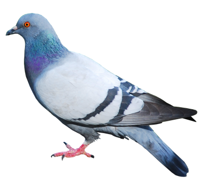 Pigeon Clipart File PNG Images