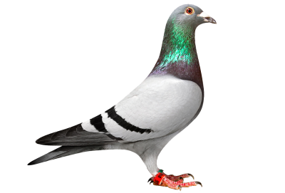 Pigeon PNG Images