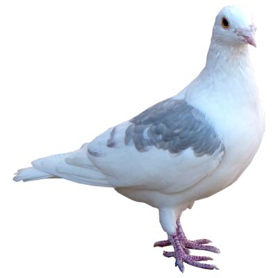 Pigeon Free Transparent 16 PNG Images