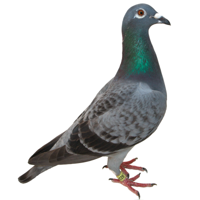 Pigeon Clipart Hd PNG Images