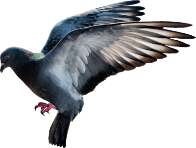Pigeon Best PNG Images