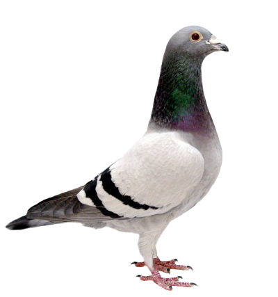 Pigeon High Quality PNG Images