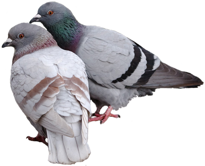 Pigeon Cut Out 20 PNG Images