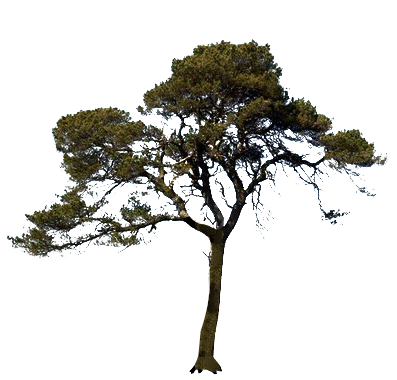 Icon Pine Tree PNG PNG Images