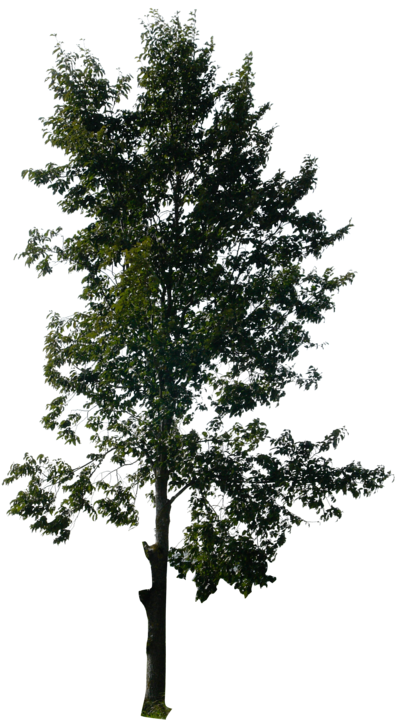 Pine Tree Free Download Transparent