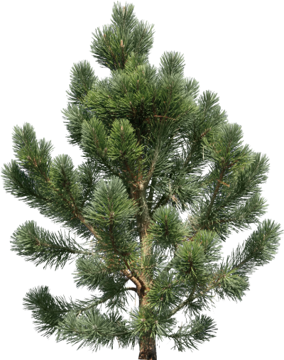 Pine Tree High Quality PNG PNG Images