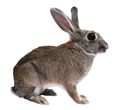 Rabbit Background PNG Images