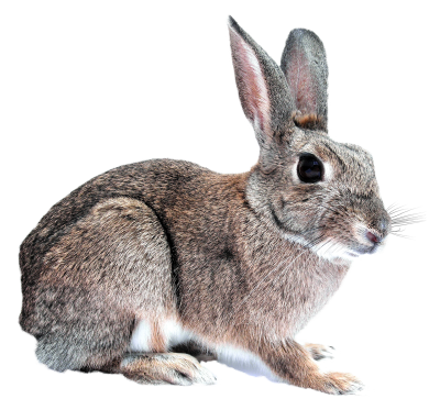 Rabbit Transparent Background