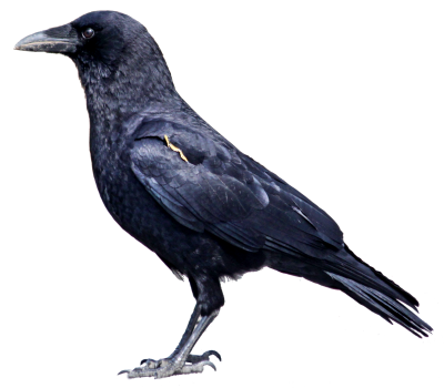 Bird,flying, A Murder Of Crows Sweet Raven Png