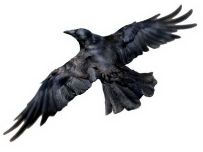 Raven White Background Images