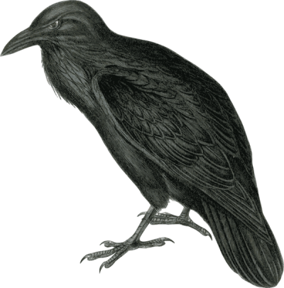 Realistic Raven Clipart Pic PNG Images