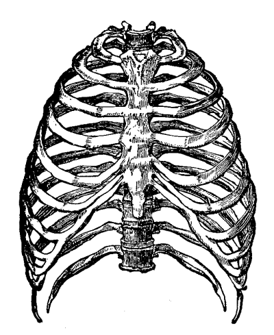 Rib Cage Illustration Transparent Png