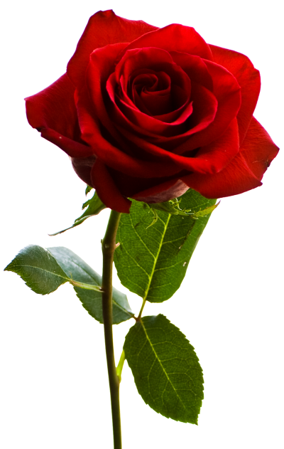 Rose Picture Photo PNG Images