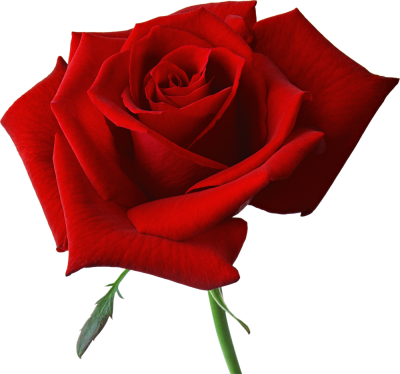 HD Flowers Rose Image PNG Images