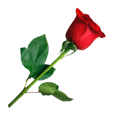 Single Red Rose Png PNG Images