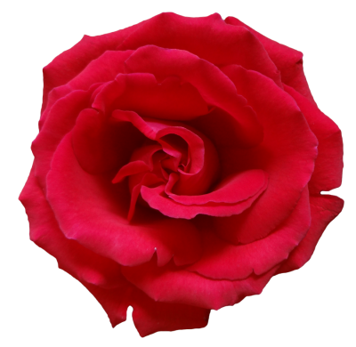 Rose Wonderful Picture Images PNG Images