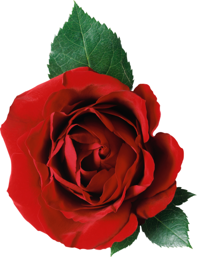Rose Flower Picture PNG Images