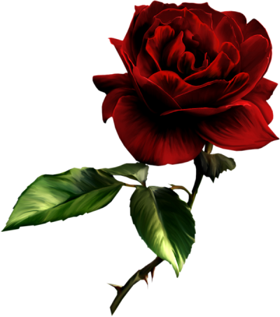 Rose Transparent PNG Images